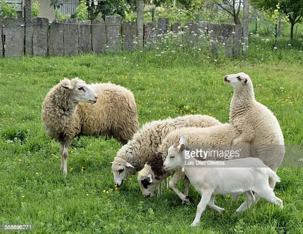 Flock of sheep in Vilagarcia de Arousa