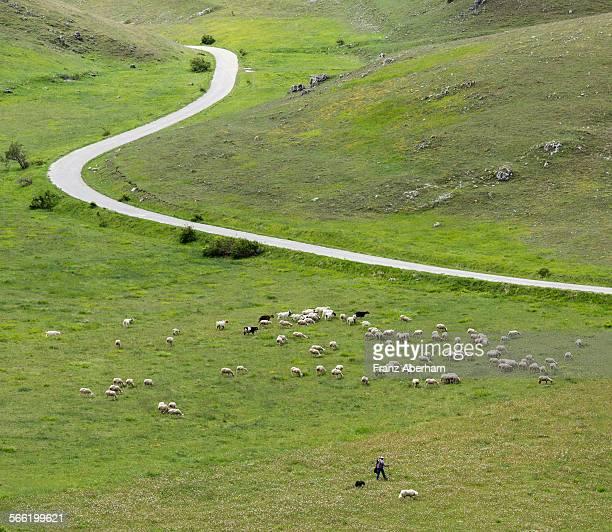 flock of sheep, italy - カンポ・インペラトーレ ストックフォトと画像