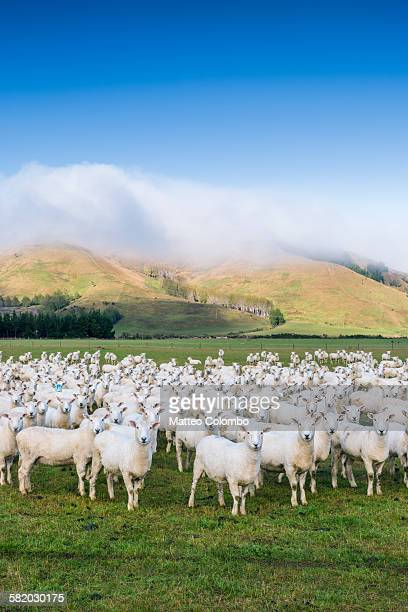 Flock of sheep looking, in a pasture, New Zealand