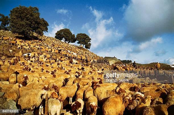 Flock of sheep Middle Atlas range Michlifen Morocco
