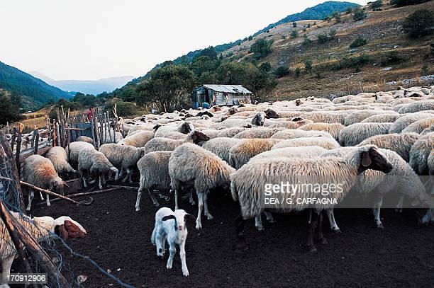 Flock of sheep near Pescasseroli, Abruzzo, Lazio and Molise National Park, Abruzzo, Italy.