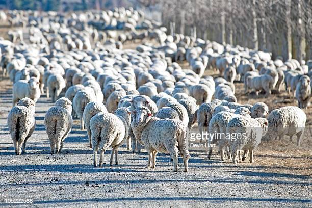 Flock of Sheep New Zealand