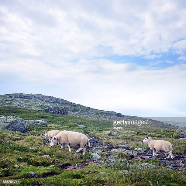 Flock Of Sheep, Norway
