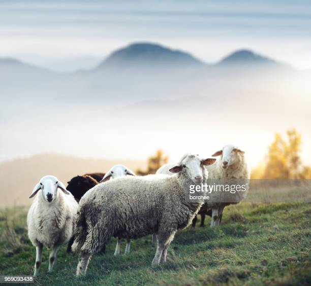 flock of sheep on a pasture - ovino foto e immagini stock