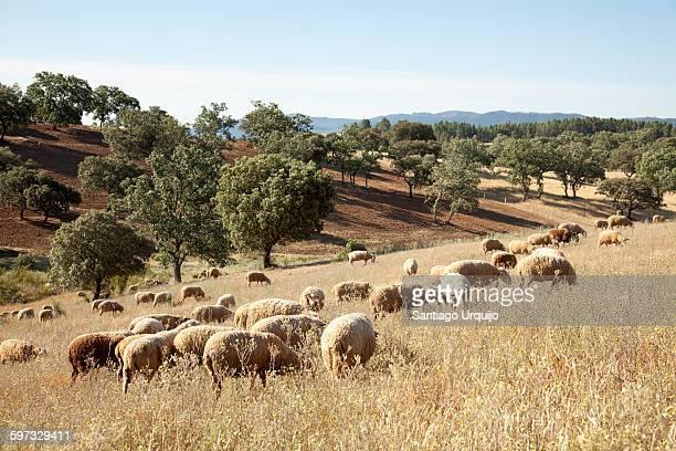 Flock of sheep on a rolling landscape