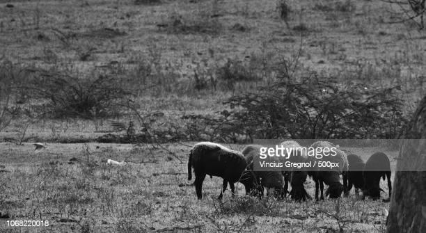 flock of sheep on field - gregnol fotografías e imágenes de stock