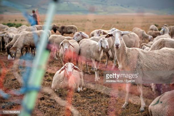 flock of sheep on field - andrea rizzi stock pictures, royalty-free photos & images