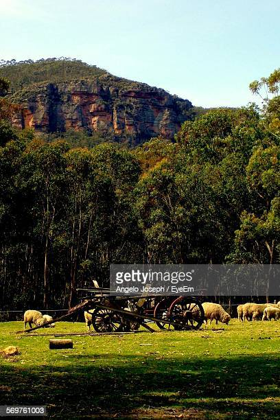 Flock Of Sheep On Field With Damaged Horse Cart By Mountain Against Clear Sky
