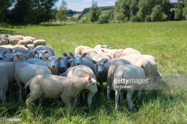 Flock of sheep on grazing pasture in the Cotswolds Oxfordshire Southern England United Kingdom
