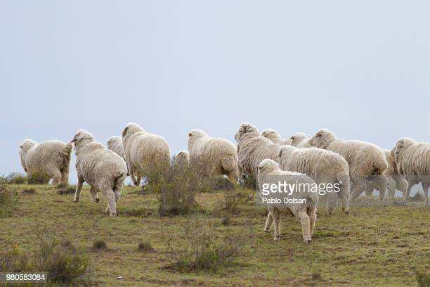 flock of sheep on pasture, comodoro rivadavia, argentina - large group of animals stock pictures, royalty-free photos & images