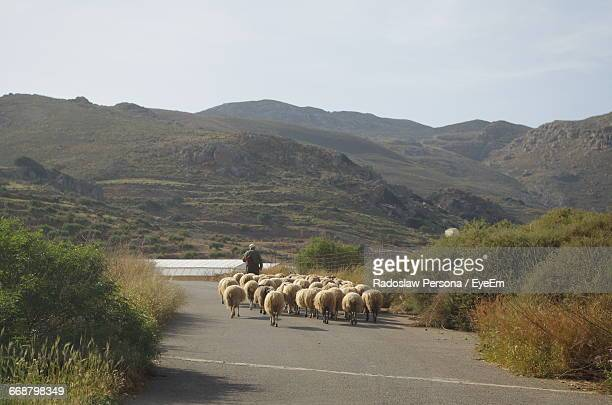 Flock Of Sheep On Road Against Mountains And Sky During Sunny Day