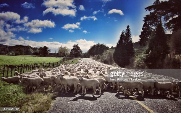 flock of sheep on road against sky - flock of sheep stock photos and pictures