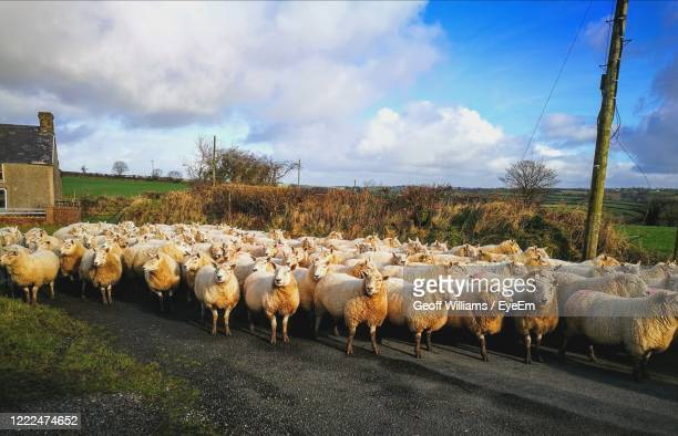 flock of sheep on road - wales stock pictures, royalty-free photos & images