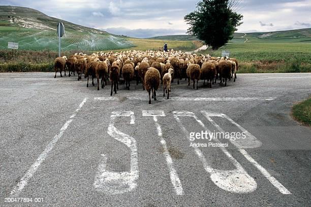 flock of sheep on road - 羊の群 ストックフォトと画像