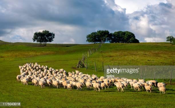 un rebaño de ovejas en el pastizal - eden pastora fotografías e imágenes de stock