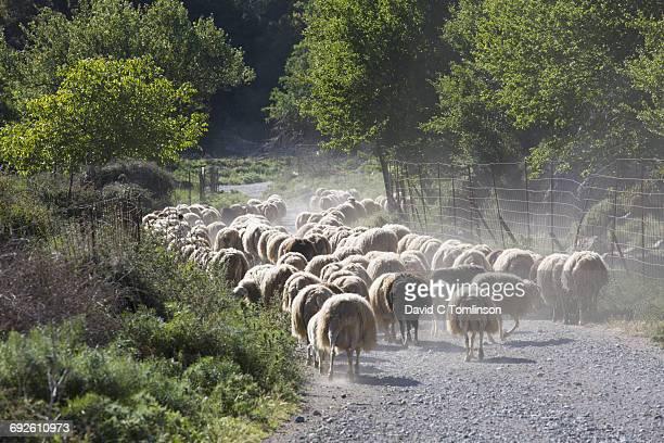 Flock of sheep on the Lasithi Plateau, Crete