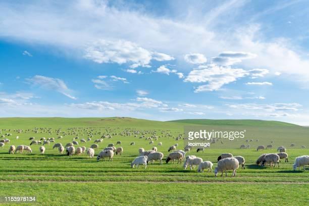 flock of sheep on the prairie - 内モンゴル自治区 ストックフォトと画像