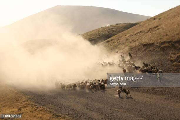 un rebaño de ovejas - pastora vega fotografías e imágenes de stock