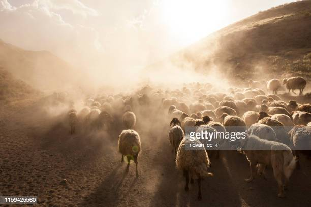 a flock of sheep - shepherd stock pictures, royalty-free photos & images