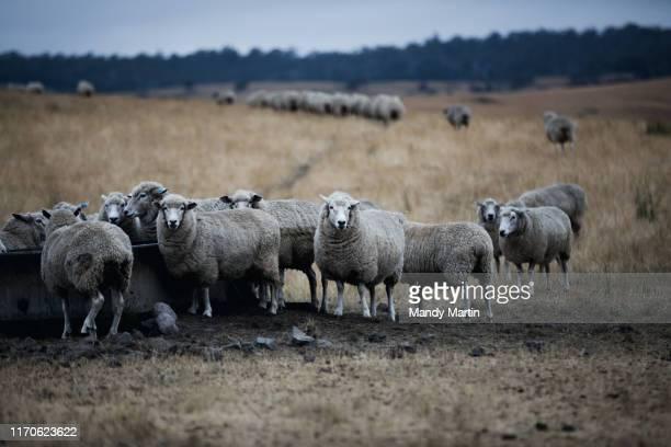 a flock of sheep - launceston australia imagens e fotografias de stock
