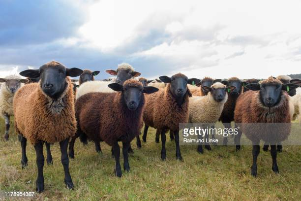 flock of sheep - livestock stock pictures, royalty-free photos & images