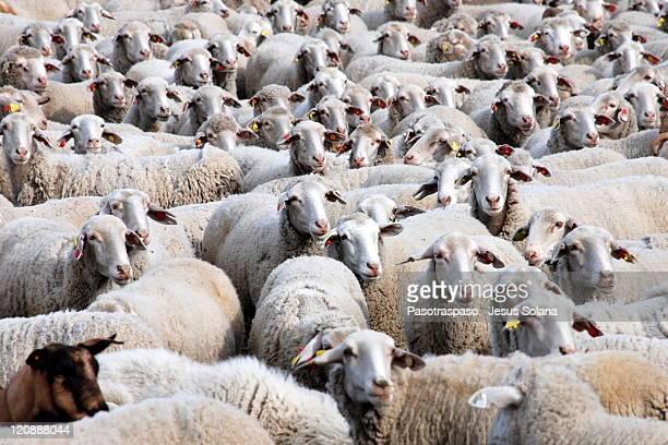 flock of sheep - 羊の群 ストックフォトと画像