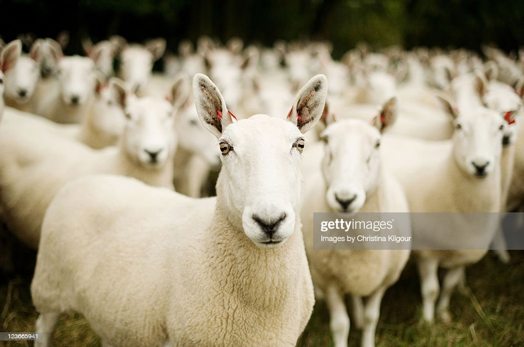 Flock of sheep, penned animals.