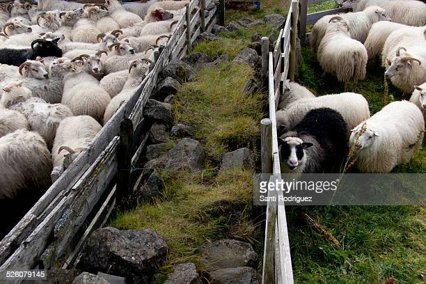 flock of sheep - icelandic sheep stock photos and pictures