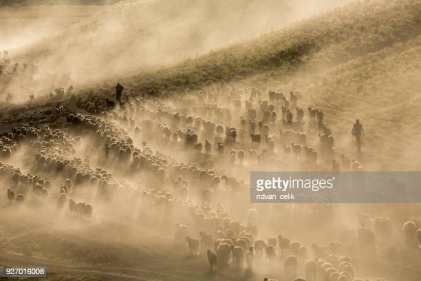 a flock of sheep - central anatolia stock photos and pictures