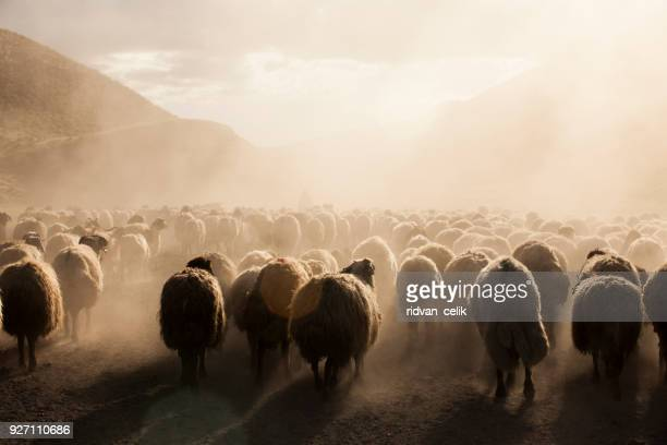 a flock of sheep - ovino foto e immagini stock
