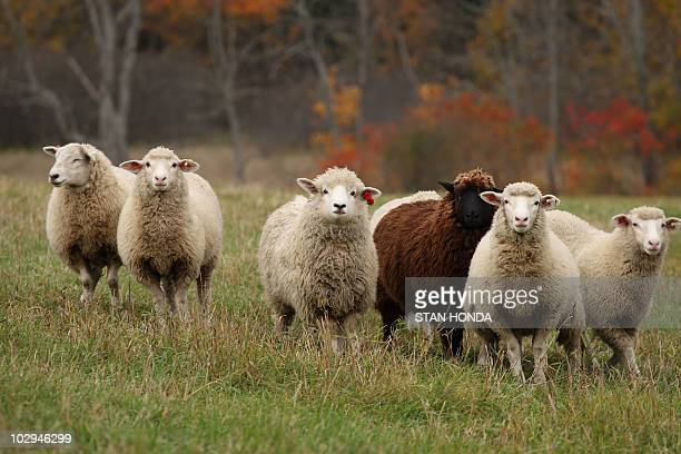 A flock of sheep run across a field as leaves show their fall colors in background 19 October 2007 at the Comstock House farm in Plainfield Vermont...