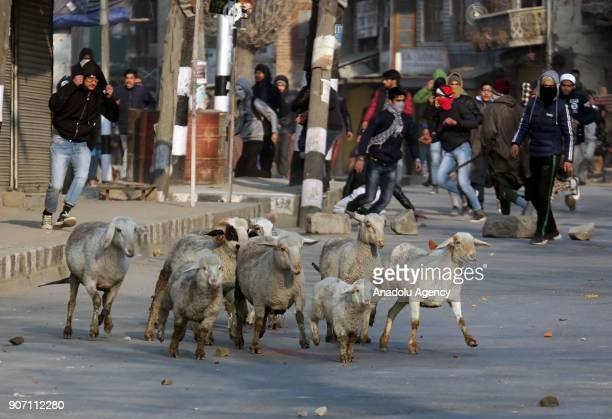 A flock of sheep run away during clashes in old city Srinagar the summer capital of Indian controlled Kashmir on January 19 2018 Profreedom clashes...