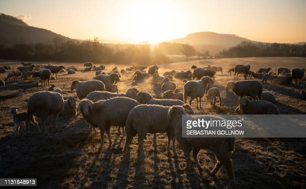 Flock of sheep stand on a meadow as sun rises in Maulbronn, southern Germany, on March 20, 2019. / Germany OUT