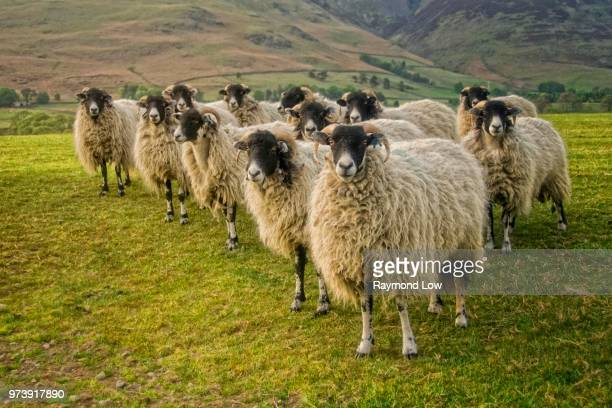flock of sheep standing in pasture, cumbria, england, uk - north west england stock pictures, royalty-free photos & images