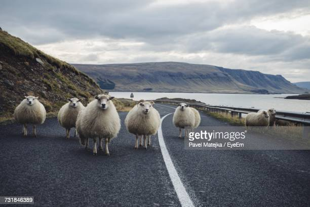 Flock Of Sheep Standing On Road Against Cloudy Sky