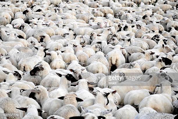 flock of sheep standing - 羊の群 ストックフォトと画像