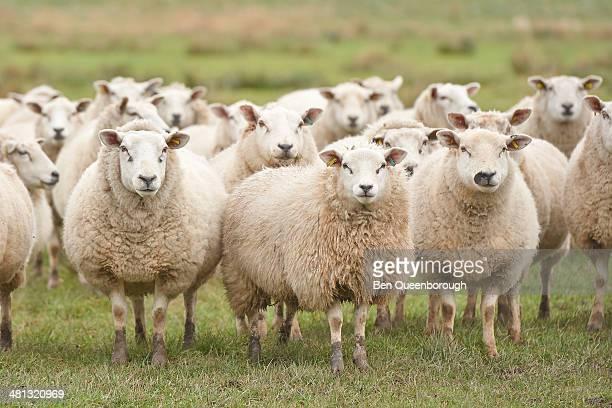 Flock of sheep staring at you