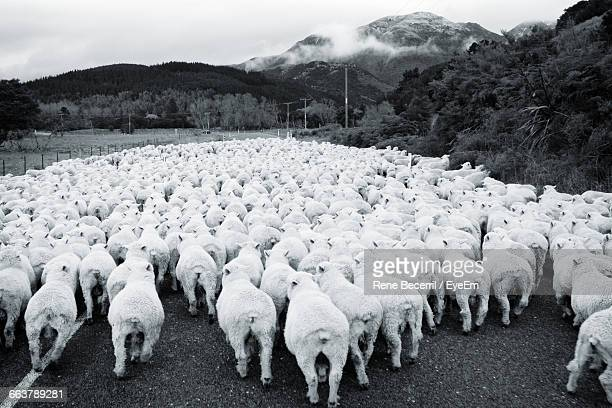 Flock Of Sheep Walking On Country Road