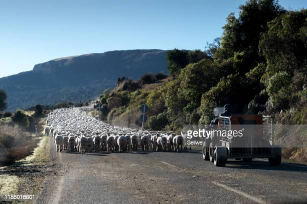 flock of sheep walking on the middle of road, with goat herder - pastora vega fotografías e imágenes de stock