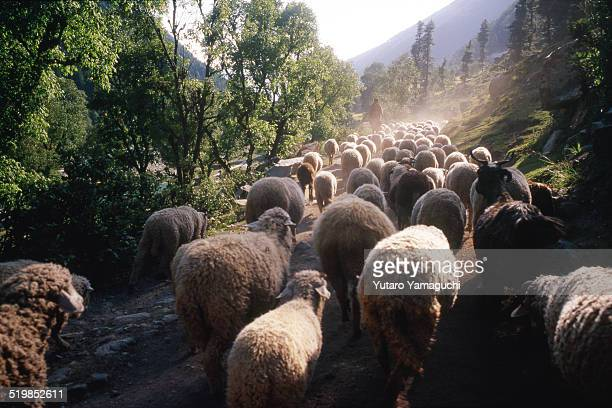 flock of sheep with a shepherd in kashmir in india - shepherd stock pictures, royalty-free photos & images