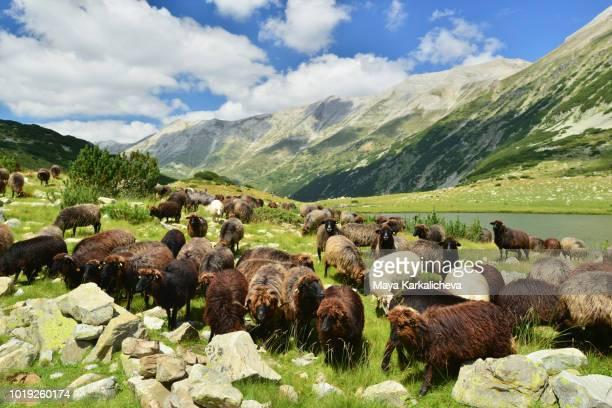 flock of sheeps grazing in pirin mountain, bulgaria - pirin mountains stock pictures, royalty-free photos & images