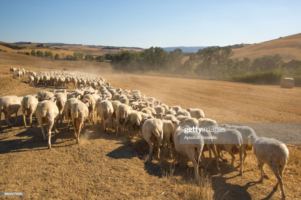 flock of sheeps grazing in Tuscany : Stock-Foto