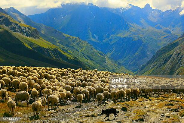 flock of sheeps herds going down aosta valley, mont blanc - ovino foto e immagini stock