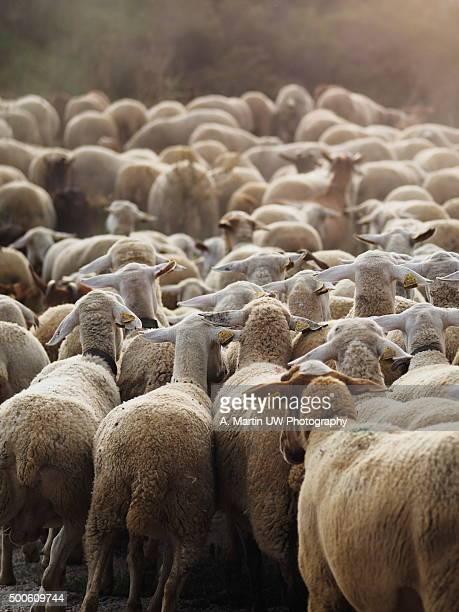 Flock of sheeps