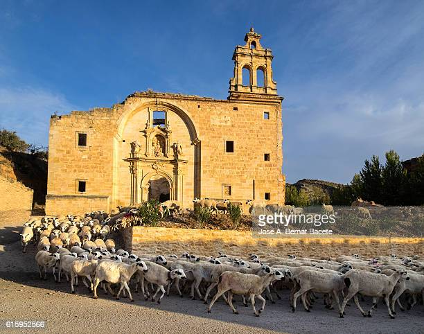 flock of sheeps they happen close to an ancient monastery in ruins in the field - アラゴン ストックフォトと画像