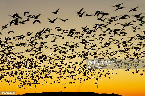 flock of snow geese at sunset - stormo di uccelli foto e immagini stock