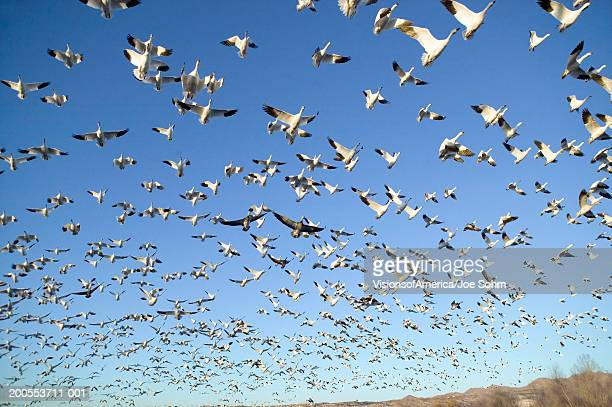 Flock of snow geese flying against blue sky