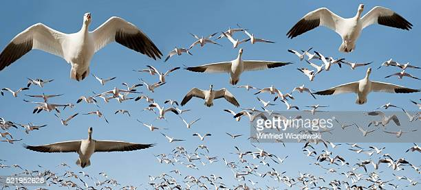 flock of snow geese in flight - animal migration stock pictures, royalty-free photos & images