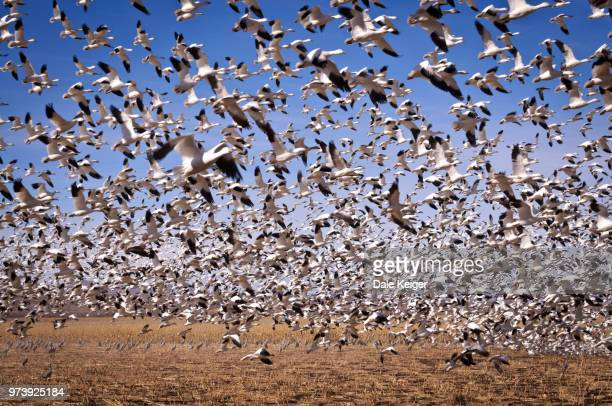 Flock of snow geese migrating, Bosque del Apache National Wildlife Refuge, New Mexico, USA