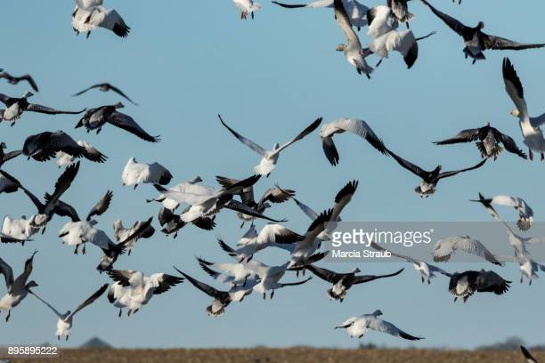 Flock of Snow Geese taking off during the Migration